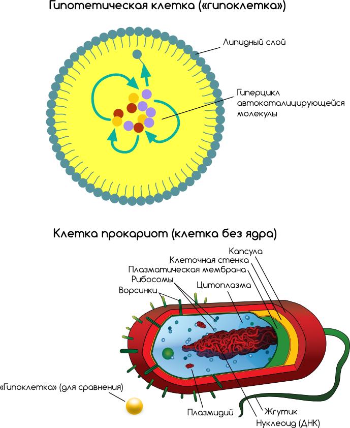 Сравнение гипотетического протобионта с современной бактерией.