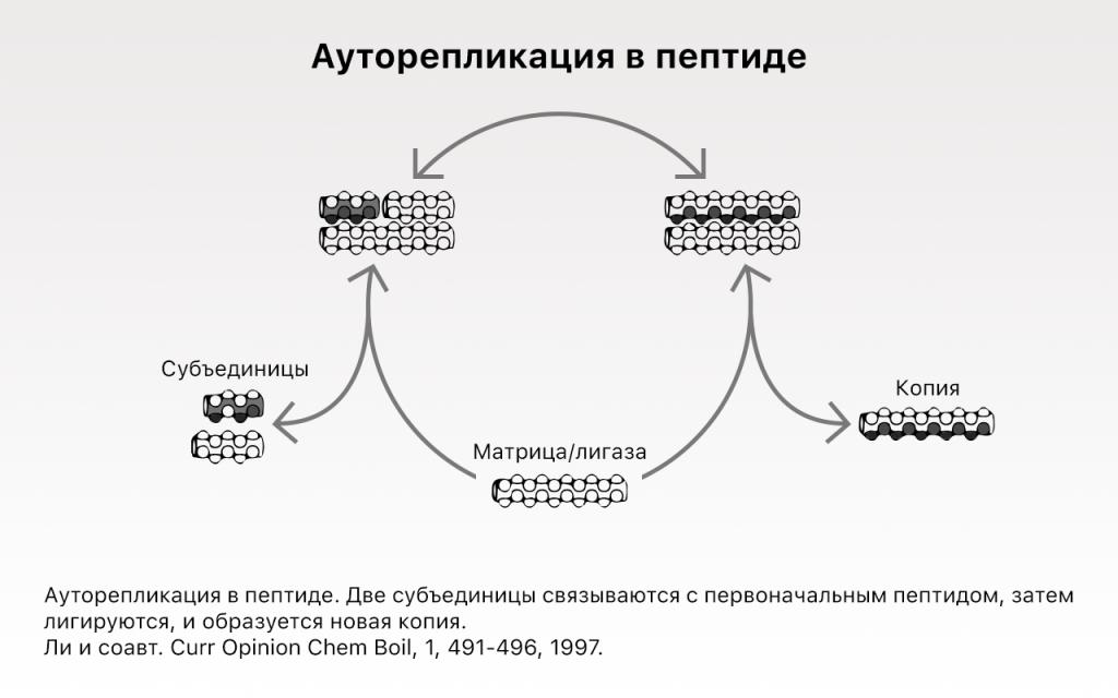 Ауторепликация в пептиде.