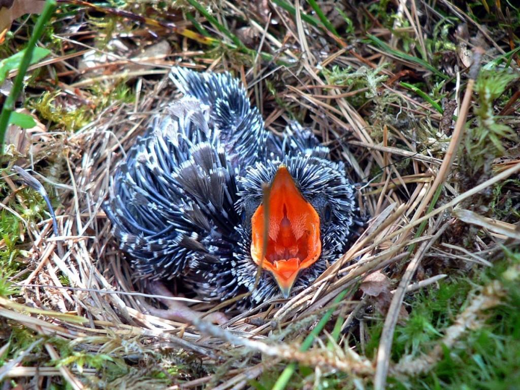 В качестве примера такого ключевого стимула можно привести ярко окрашенный открытый клюв птенца, который вызывает поведение кормления у родителей.