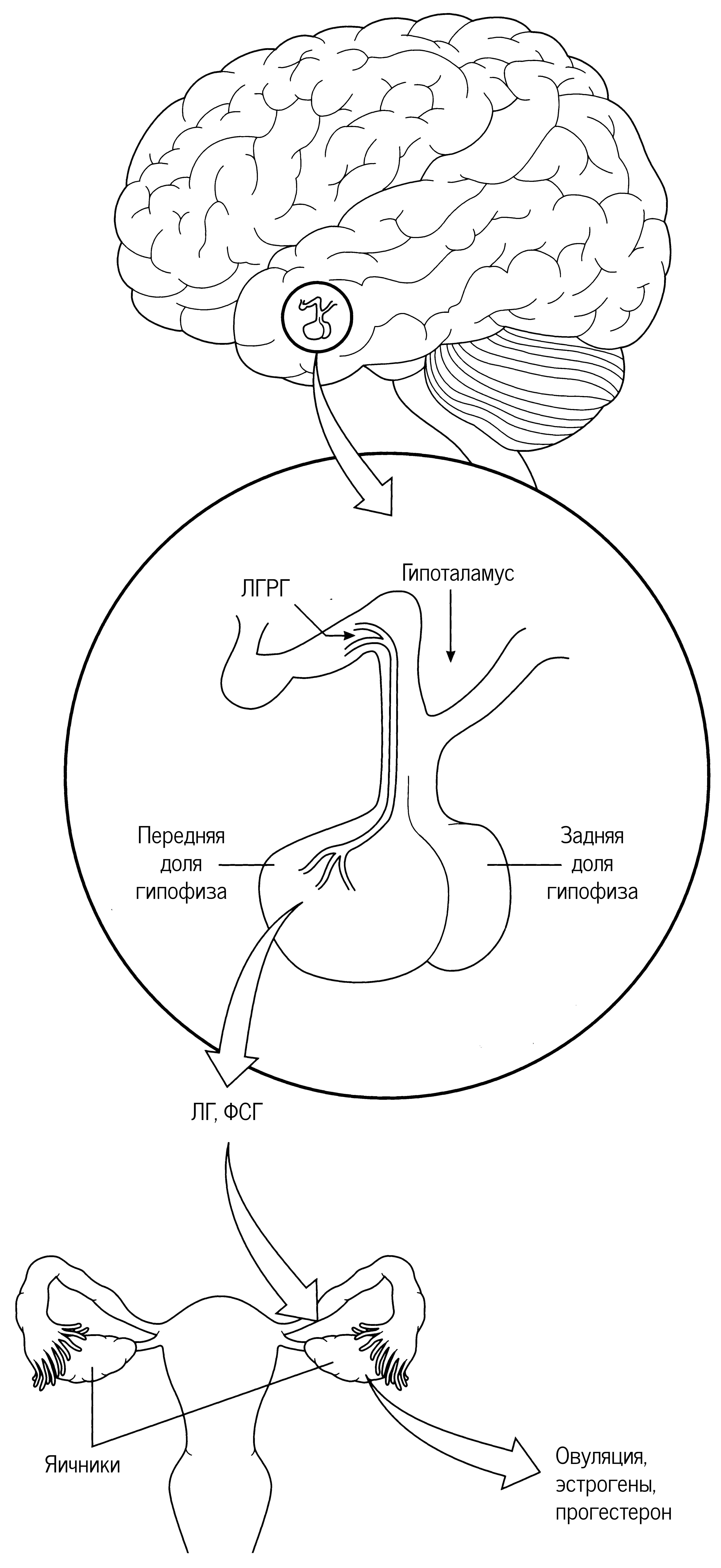 Гипоталамус вырабатывает ЛГРГ в закрытую систему кровообращения, связывающую его с передней долей гипофиза. ЛГРГ запускает выброс ЛГ и ФСГ гипофизом, а они, в свою очередь, вызывают овуляцию и выработку гормонов в яичниках.