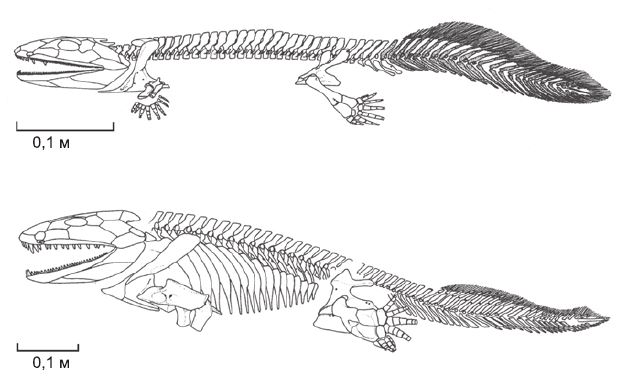 Сравнение скелетов ихтиостеги (вверху) и акантостеги (внизу) (рисунок предоставлен M. Coates).
