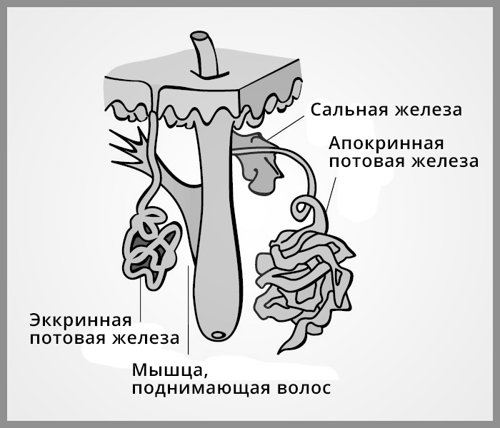 На некоторых участках тела три основных вида кожных желез связаны с волосяными фолликулами.