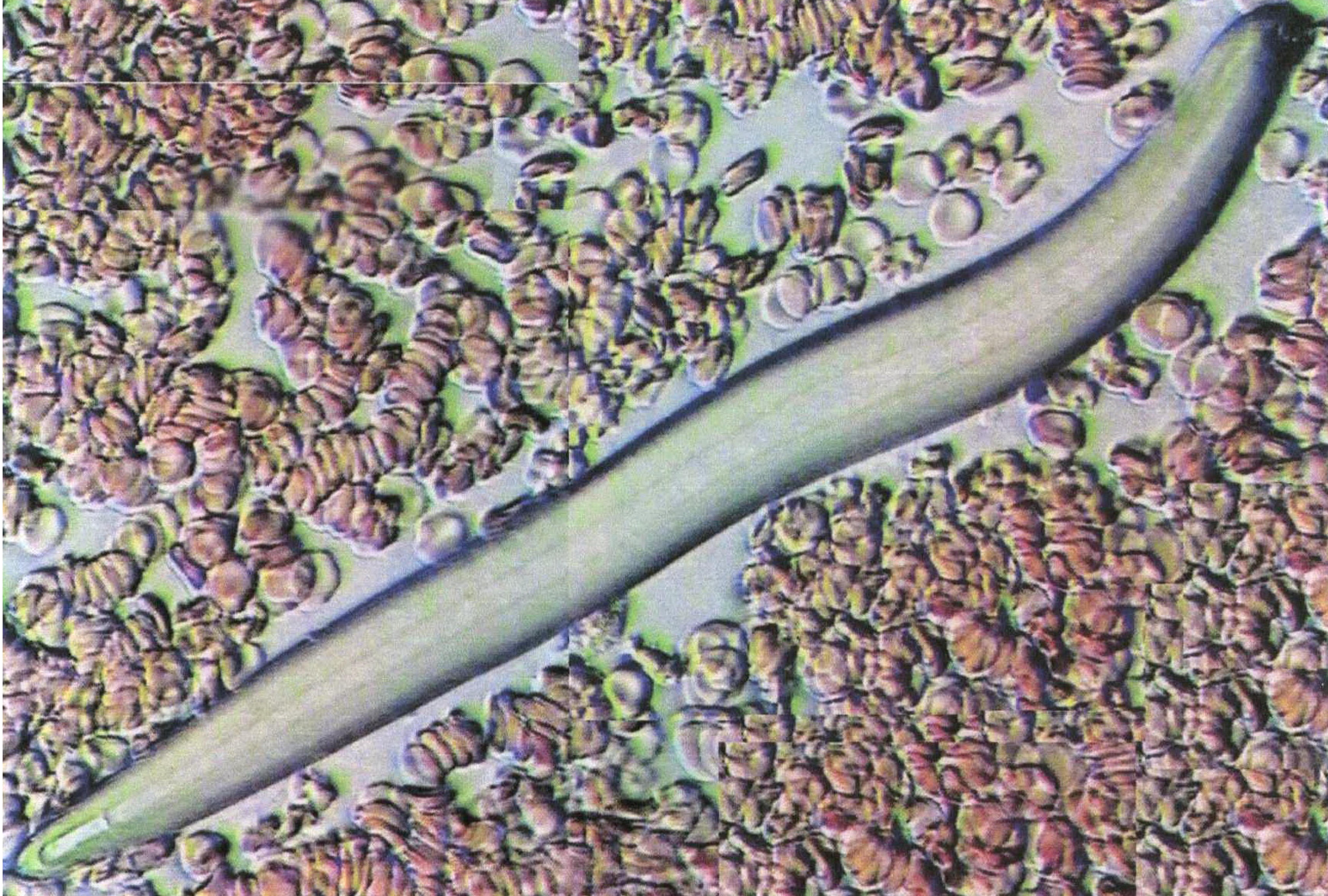 Личинка паразита