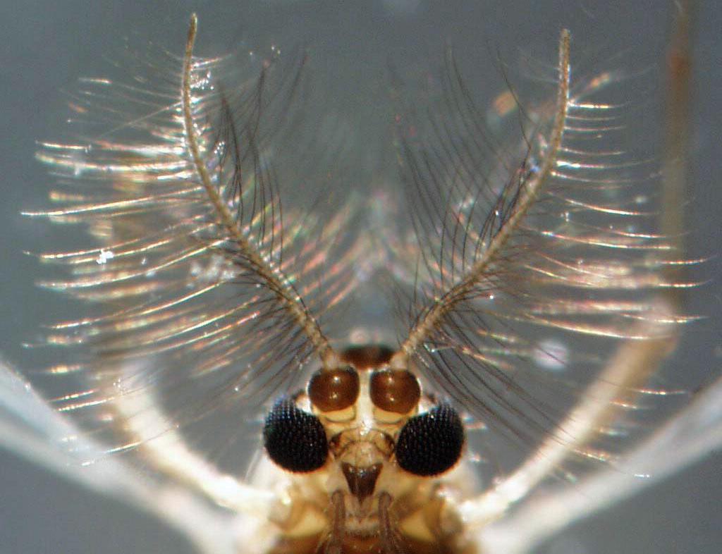 Антенны комара-звонца
