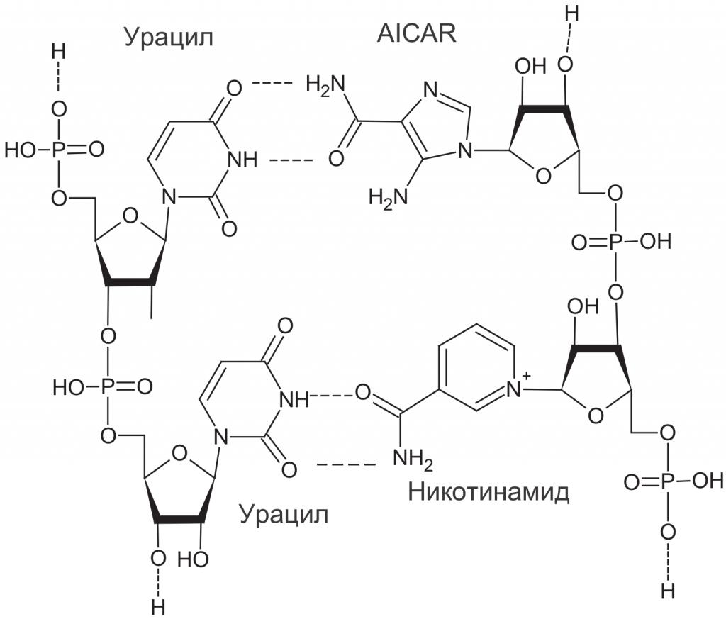 Структуры возможных дополнительных нуклеотидов древних РНК: аминоимидазол-карбоксамид-риботид (AICAR, справа вверху) и никотинамид (справа внизу), образующие комплементарные пары с урацилом (слева). Из-за возможности вращения группы -CO-NH2 AICAR и никотинамид могут образовывать комплементарные пары с разными азотистыми основаниями и не подходят для хранения генетической информации.
