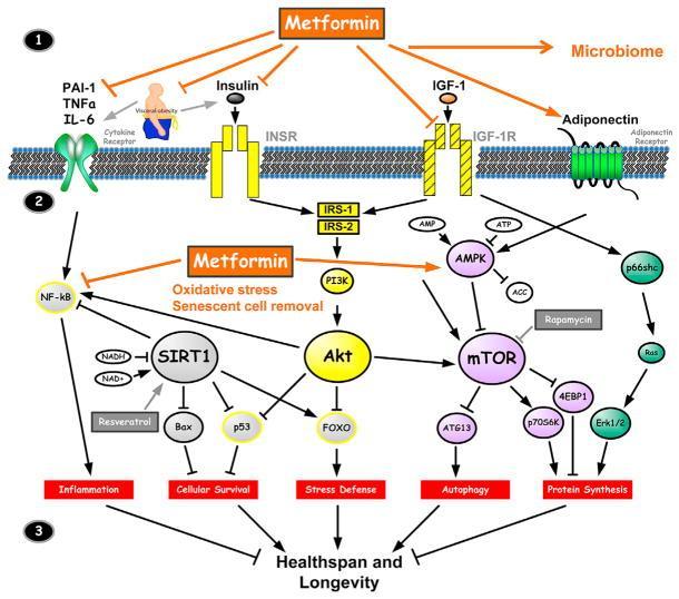 Метформин. Замечательный препарат, одобренный для лечения диабета II типа, с очень сложным и не до конца изученным механизмом действия.
